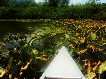 The boyfriend and I let the canoe coast while we ate fruit salad. We coasted into these lily pads, which our guide kindly let us know was probably infested with leeches.
